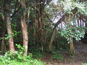 Road to Hana: Cool trees at Twin Falls